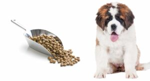 Feeding a St Bernard Puppy – The Right Diet for a Giant Breed