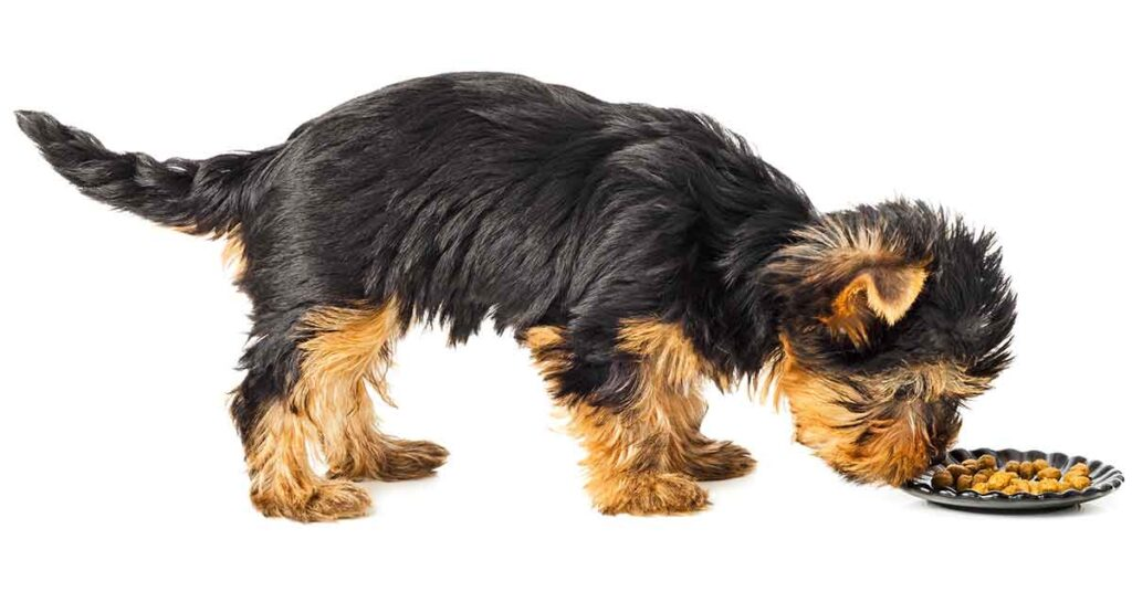 feeding a yorkshire terrier puppy