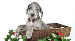 Merle Great Dane: What It Really Means to Be This Pattern