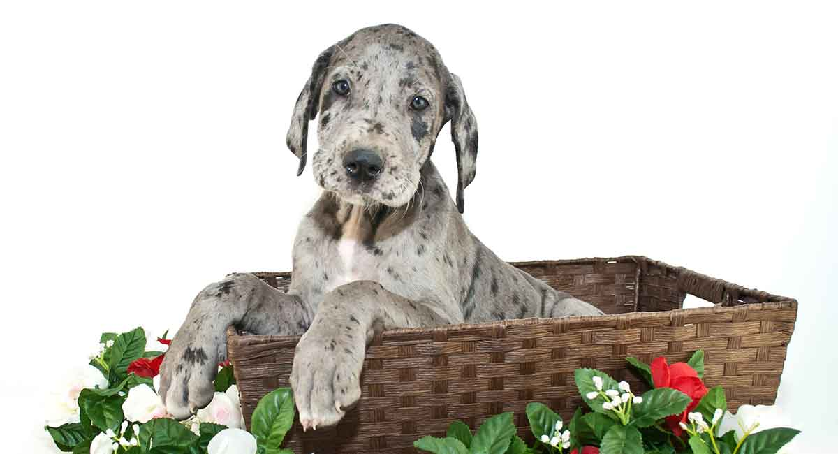 merle great dane