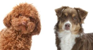 Mini Aussiedoodle – The Miniature Poodle Australian Shepherd Mix