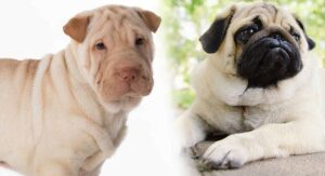 Ori Pei – A Complete Guide To The Pug Shar Pei Mix