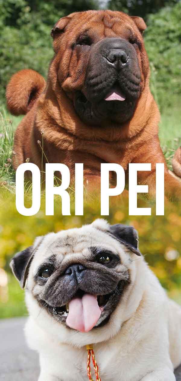Ori Pei mix breed