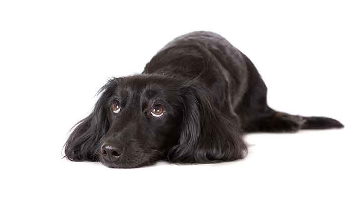 black longhaired dachshund looking sad, on white background