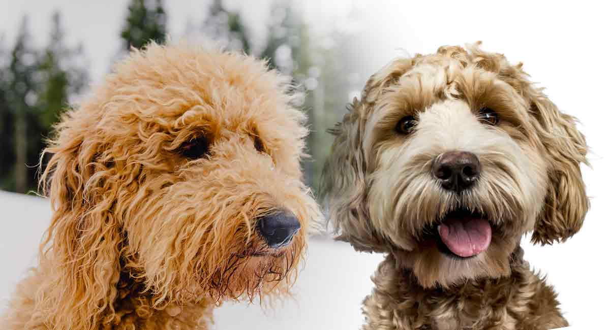 Double Doodle Labradoodle And Goldendoodle Mixes