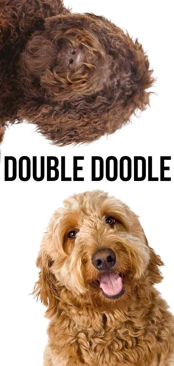 double doodle mix breed