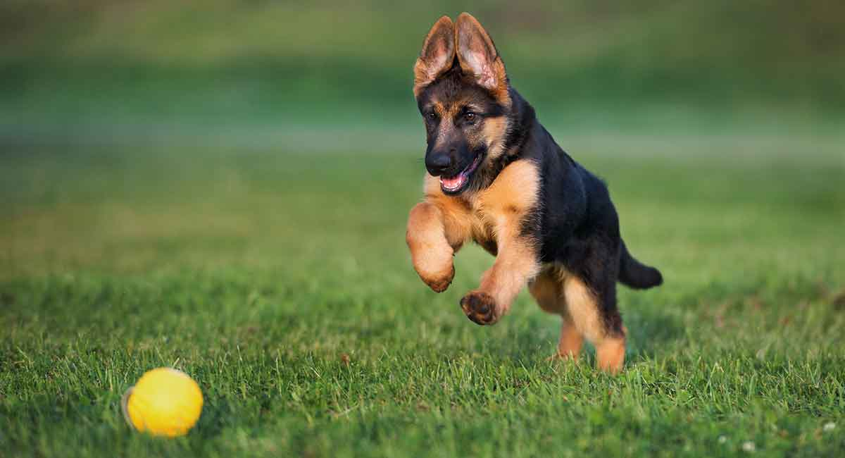 Best Toys For German Shepherd Dogs That Love To Play