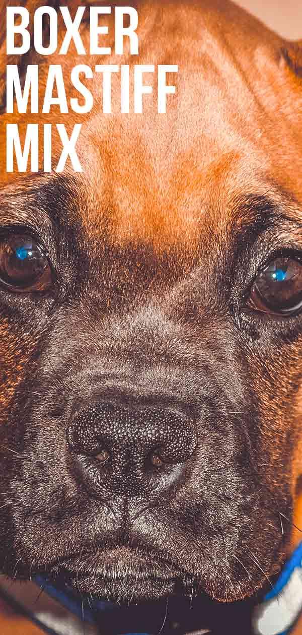 boxer-mastiff-mix