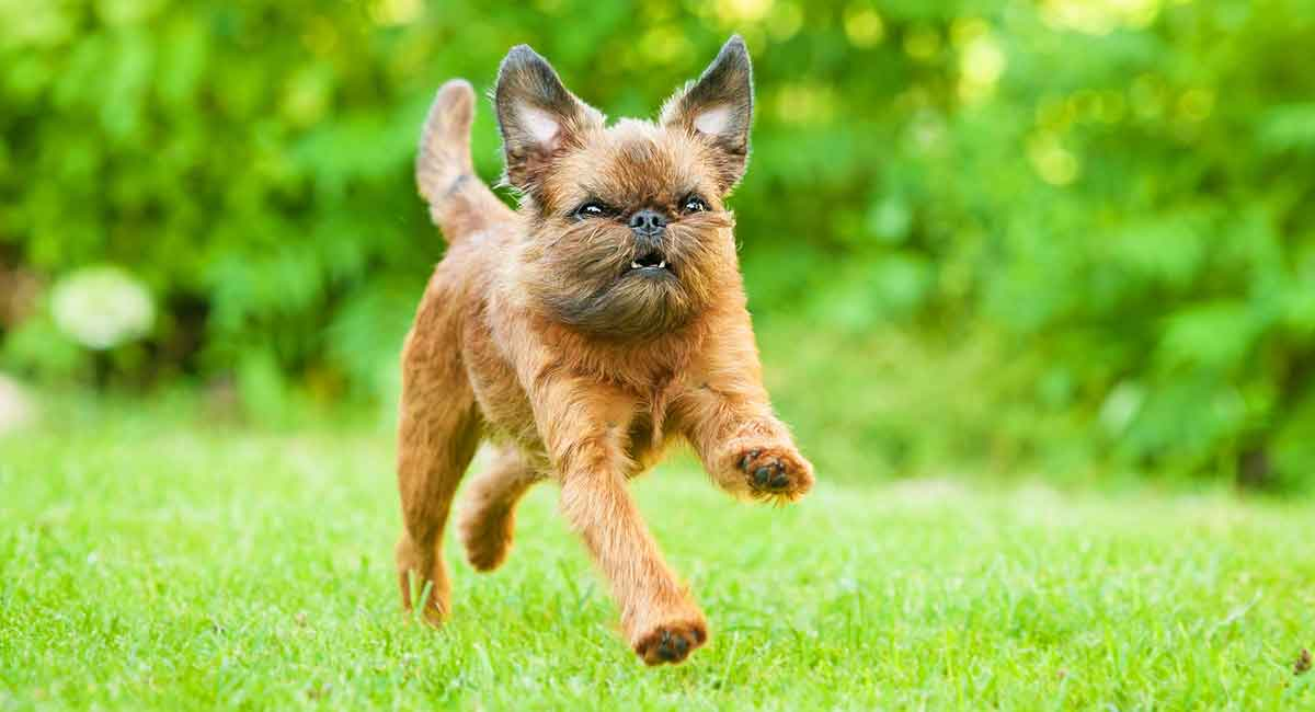 Brussels Griffon - The Toy Sized Dog With The Full Sized Attitude