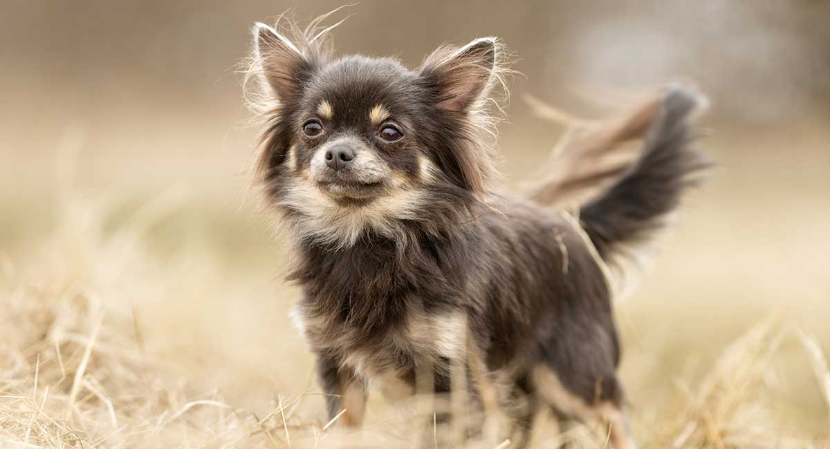 Chihuahua Dog Breed Information: A Guide To The World's Smallest Dog
