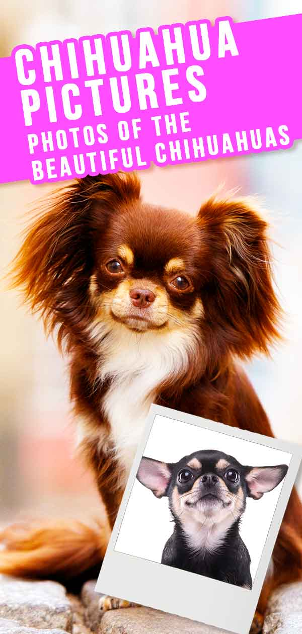 Chihuahua Dog Breed Information: A Guide To The World's