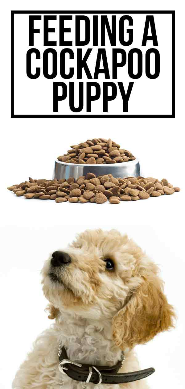Feeding a Cockapoo Puppy HP long