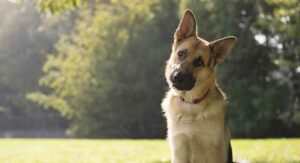 German Shepherd Size – Growth, Height And Weight