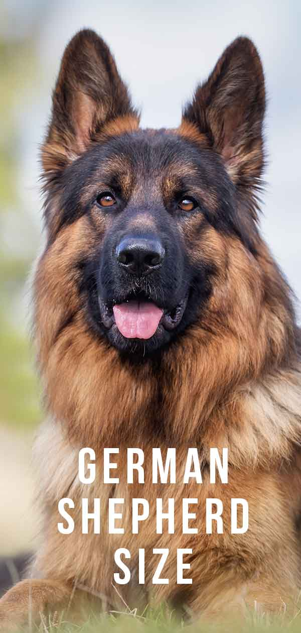 German Shepherd breed size