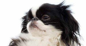 Japanese Chin Dog Breed Information Center