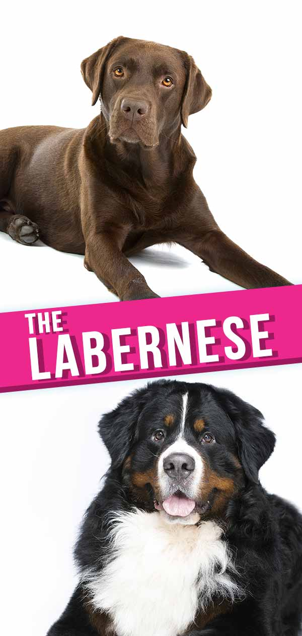 Labernese Information Center The Bernese Mountain Dog Lab