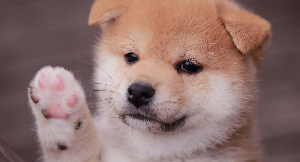 Mini Shiba Inu - The Tiny Version Of the Adorable Spitz Dog