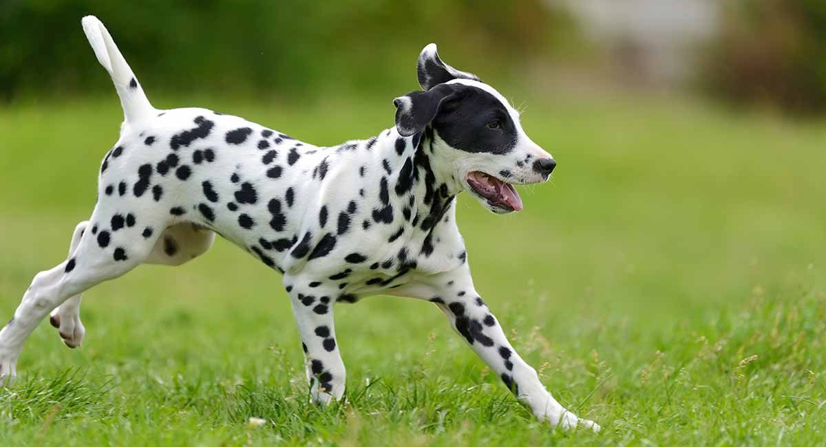 Miniature Dalmatian
