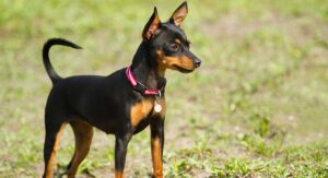 Miniature Doberman – Your Guide To The Pocket Sized Doberman
