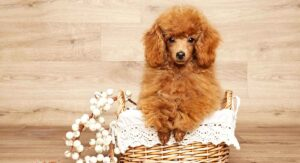 iniature Poodle Dog Breed Information Center - The Mini Poodle Guide
