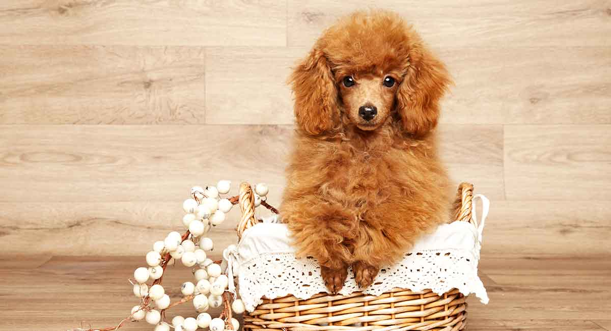 Miniature Poodle Dog Breed Information Center - The Mini