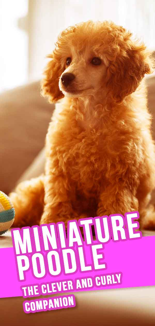 Miniature Poodle Dog Breed Information Center - The Mini Poodle Guide