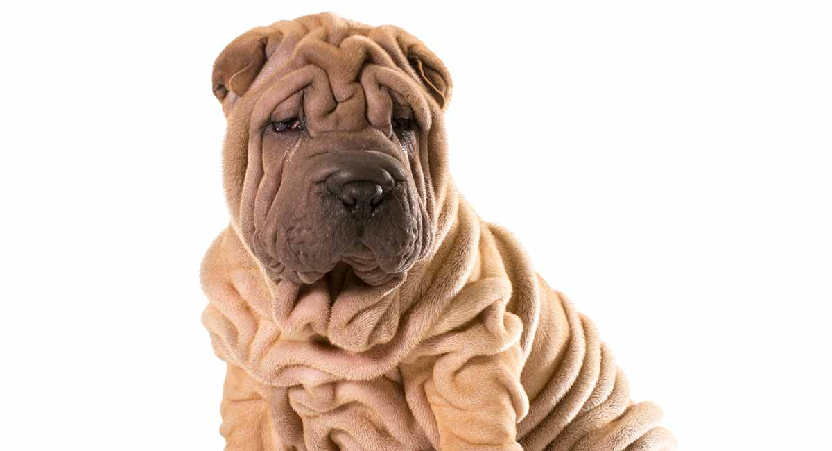 Miniature Shar Pei A Guide To The Smaller Version Of Breed