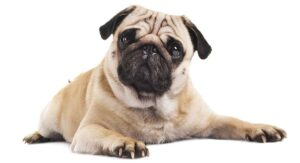 22 Pug Facts – How Well Do You Really Know Your Favorite Dog?