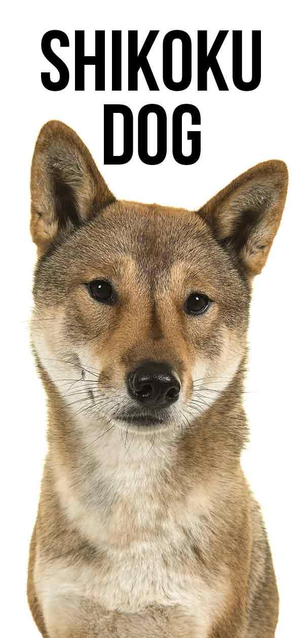 Shikoku Dog breed