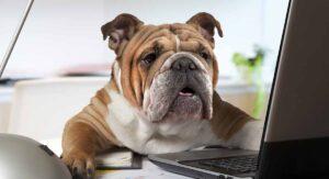 are english bulldogs good pets