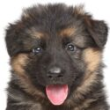 Baby German Shepherd – How Your Tiny Puppy Will Grow