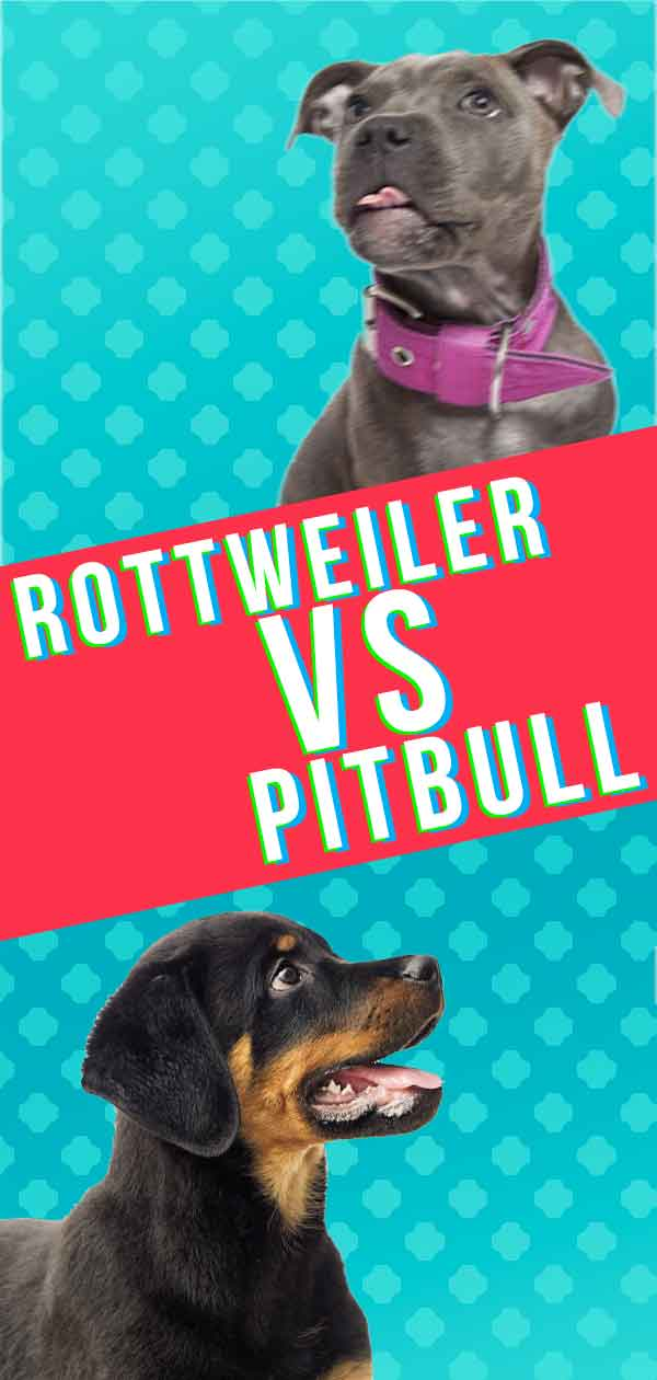 Rottweiler Vs Pitbull