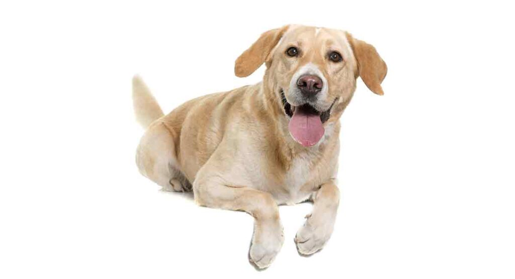 female labrador