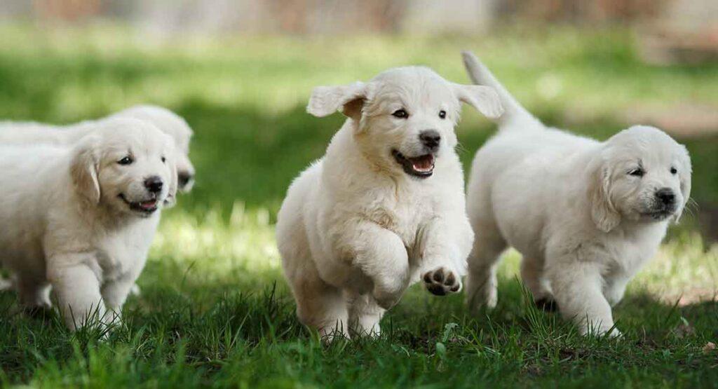 happy golden retriever puppies