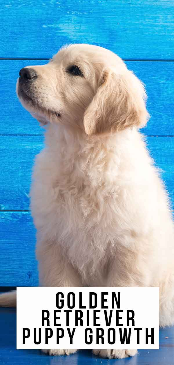 Golden Retriever Puppy Growth And