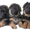 8 Week Old German Shepherd Dog – Facts And Puppy Routines