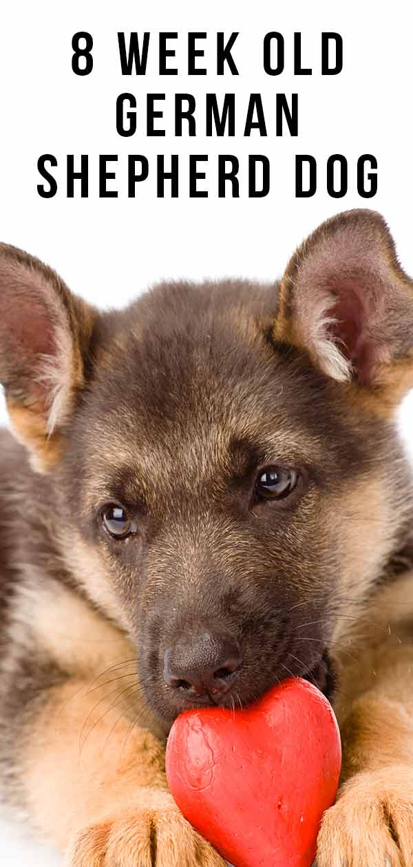 8 week old German Shepherd Dog