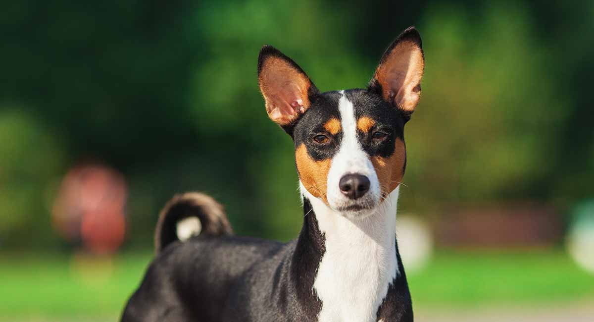 Basenji Dog Stood Facing The Camera