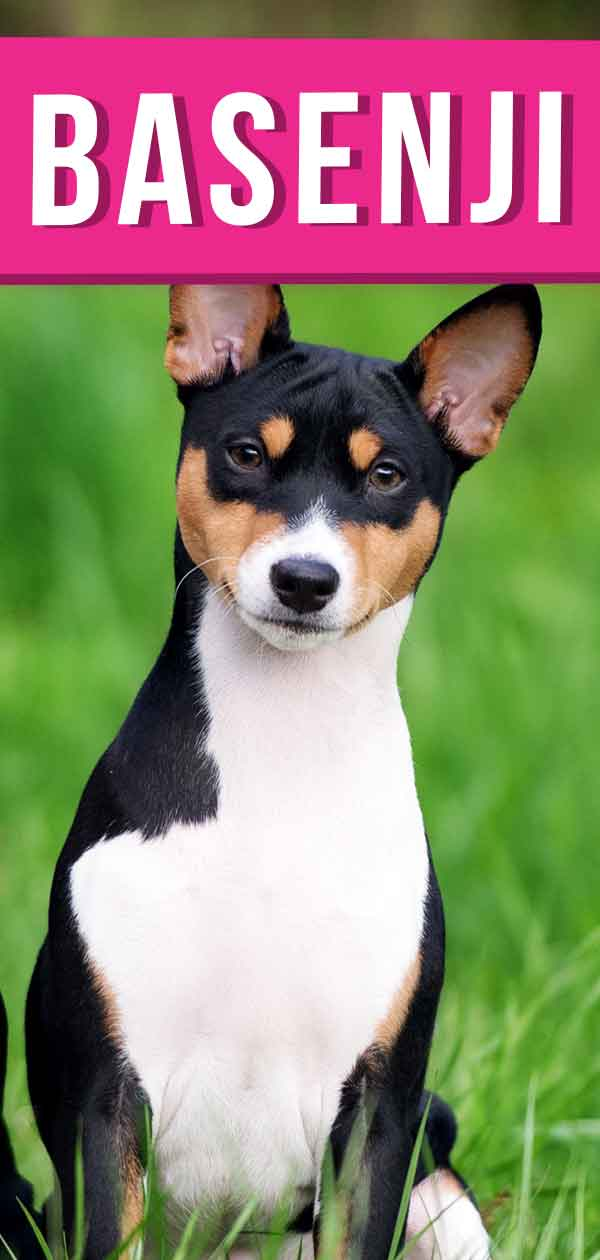 Basenji Dog In The Grass