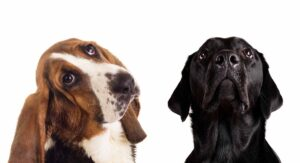 Bassador: Your Guide to the Basset Hound Lab Mix