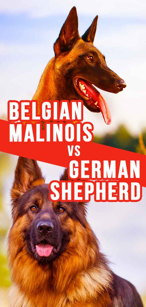 Belgian Malinois vs German Shepherd - Which Dog Is Right For You?