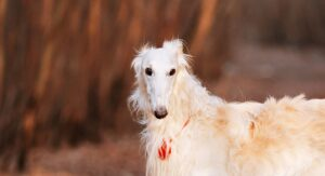 Borzoi – The Confident, Athletic Russian Wolfhound