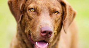 Chesapeake Bay Retriever Dog Breed Information Center