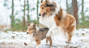 https://thehappypuppysite.com/wp-content/uploads/2019/07/Collie-Dog-Breed-Information-Center-A-Guide-To-The-Rough-Collie