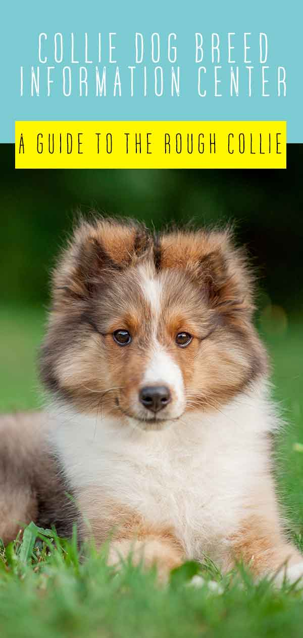 Collie Dog Breed Information Center