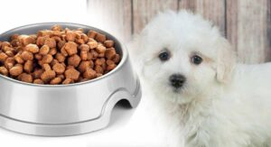 Feeding A Maltipoo Puppy – Routines, Schedules And Amounts