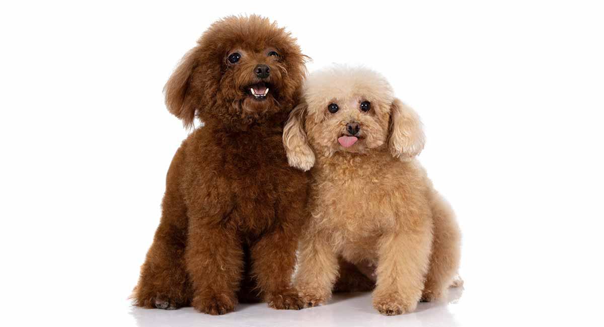 Miniature Poodle Colors Por