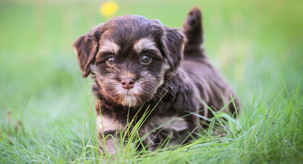 Havanese – A Complete Guide to the Cuban Pint-Sized Pup HP long