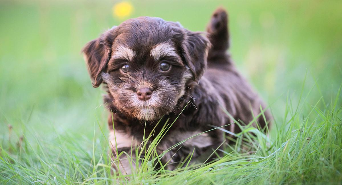 Havanese Dog Breed Information Center