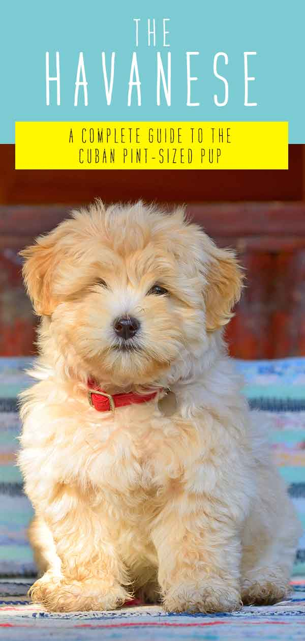 Havanese Dog Breed Information Center – A Guide To A Pint